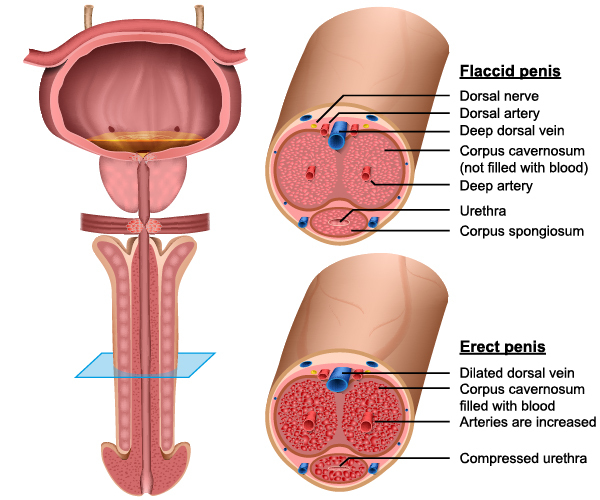 Penis Anatomy Diagram.jpg