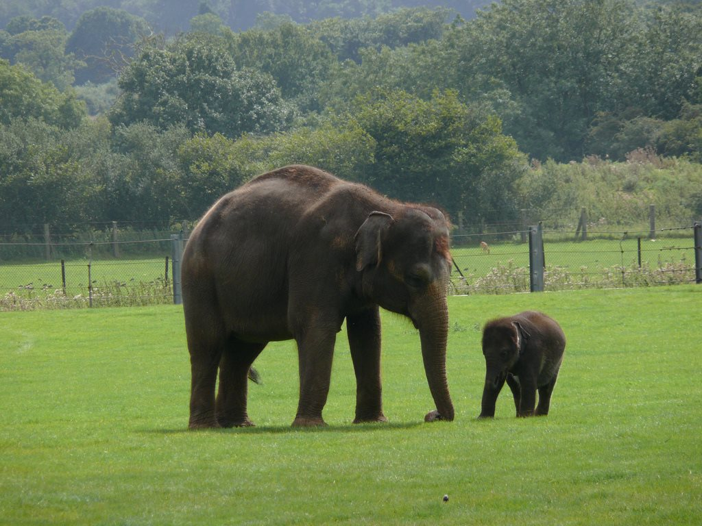 Indian_Elephant_.jpg
