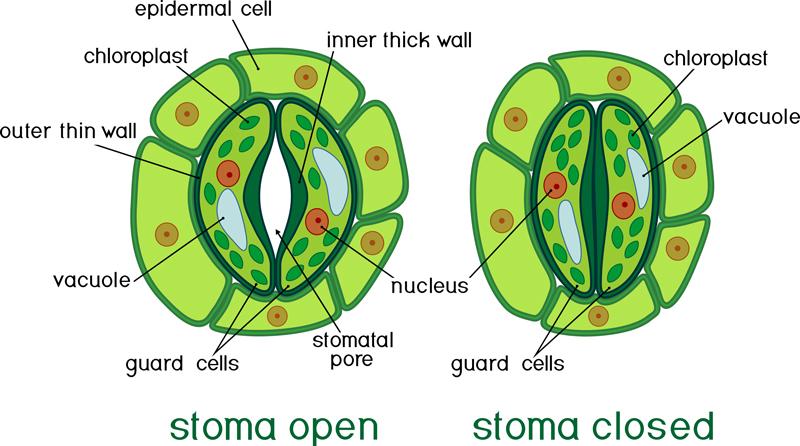 evapotranspiration-stoma