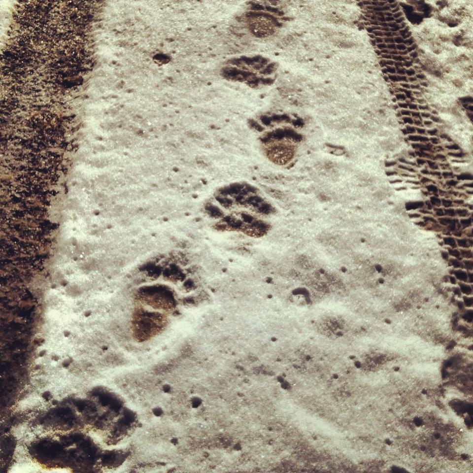 Bobcat prints in the snow