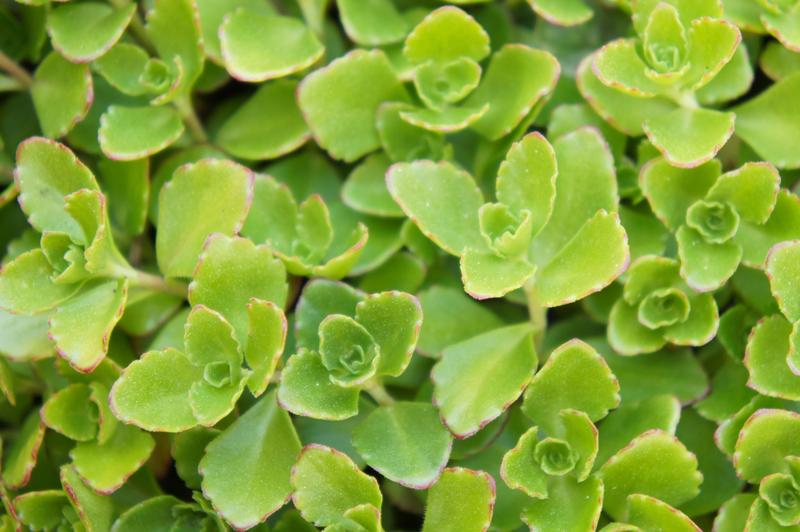 Sedum spurium Immergrunchen on a green roof