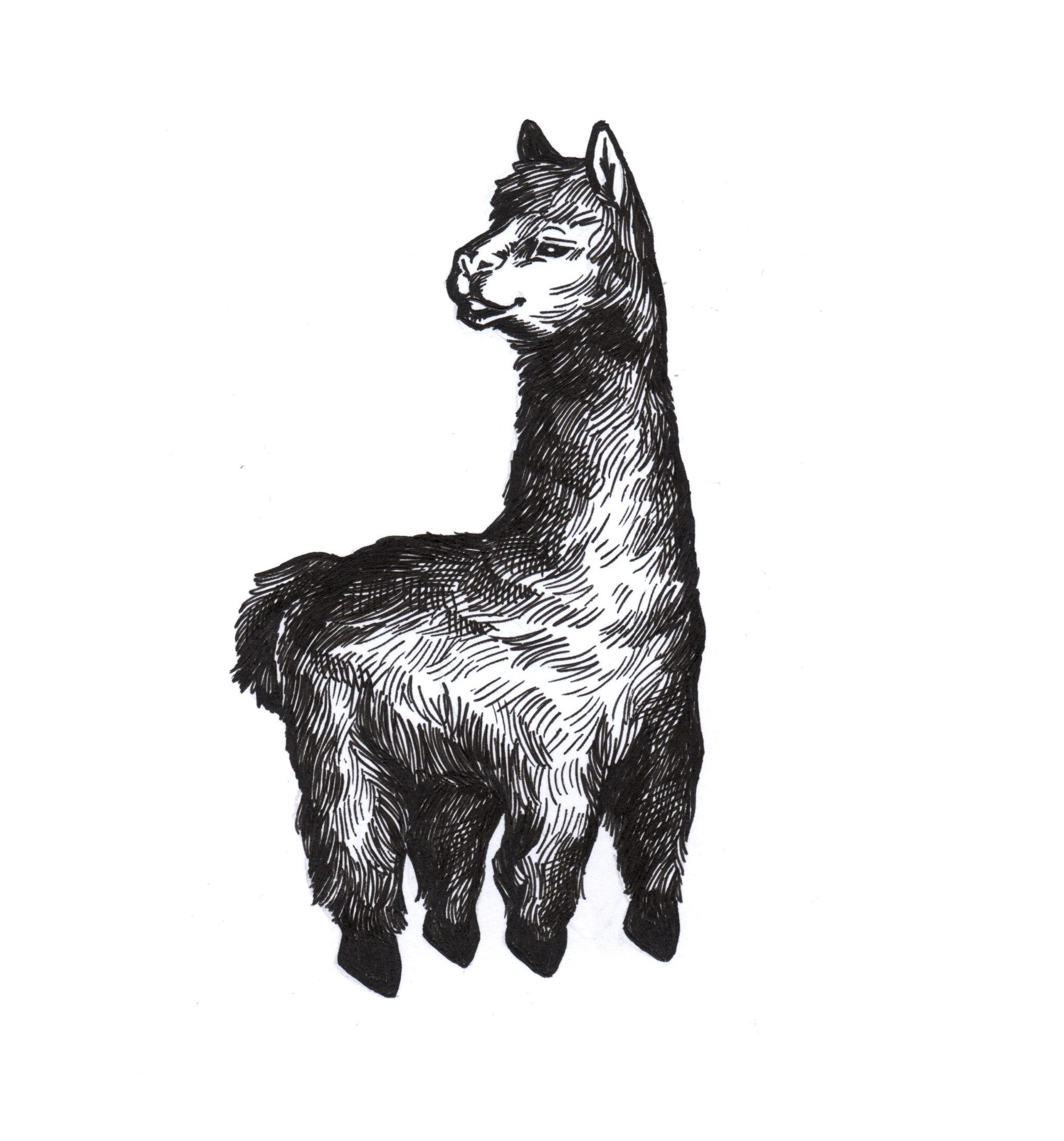 blackwork style of hand drawn alpaca