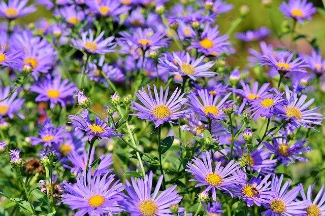 Birth Flowers for September