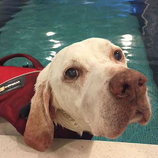 a white labrador gets canine hydrotherapy in an Original Endless Pool
