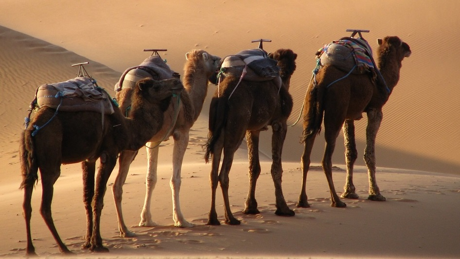 Les dromadaires, fidèles compagnons des bédouins.