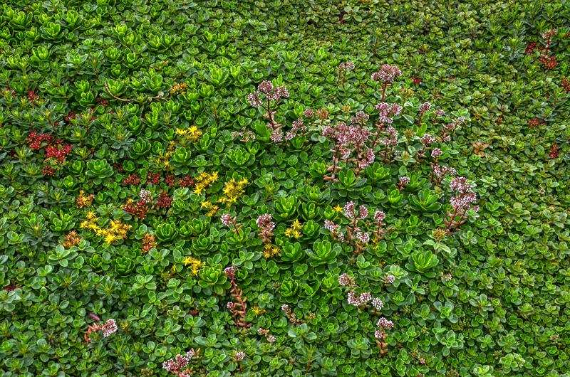 green roof sedum