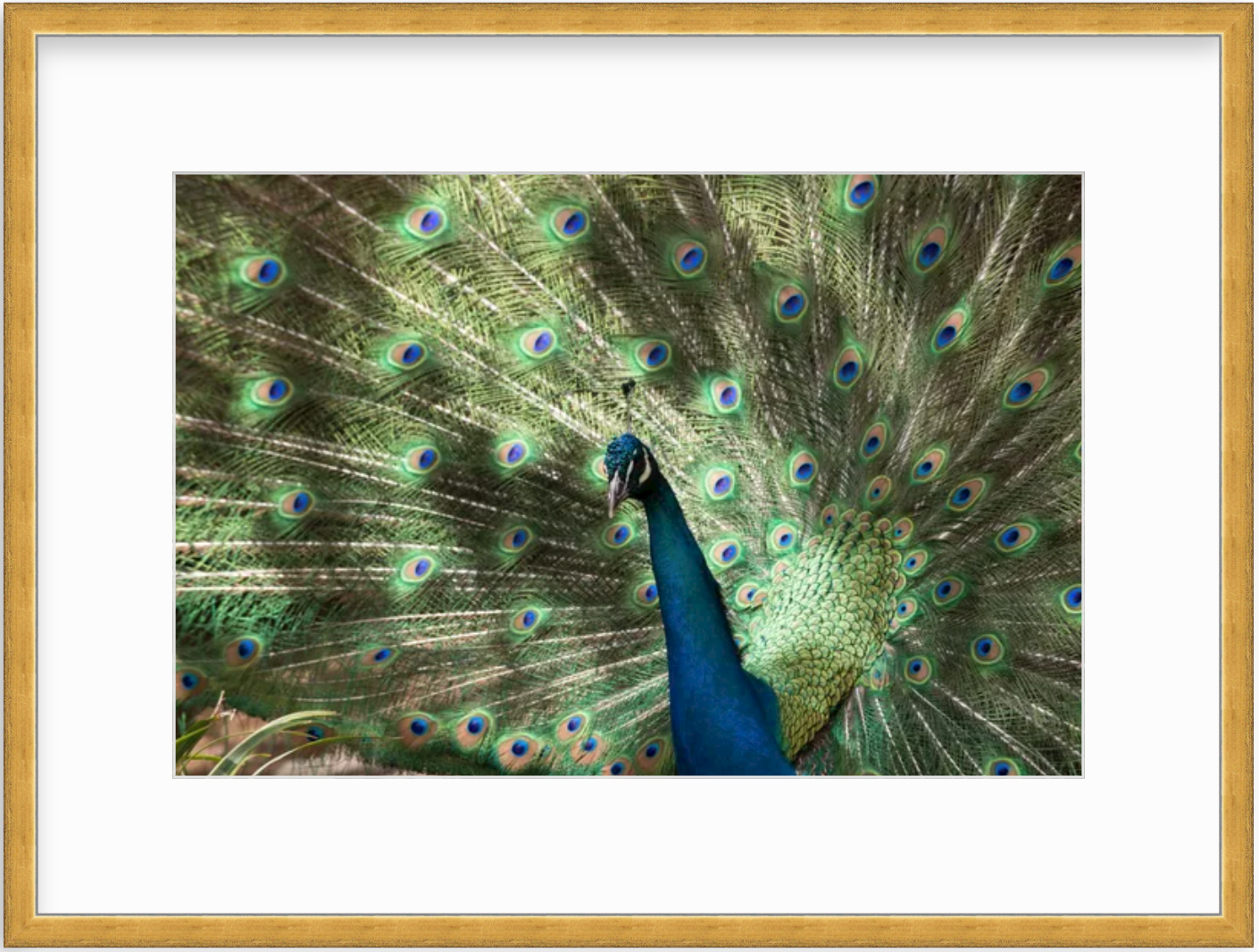 photo of peacock in gold frame