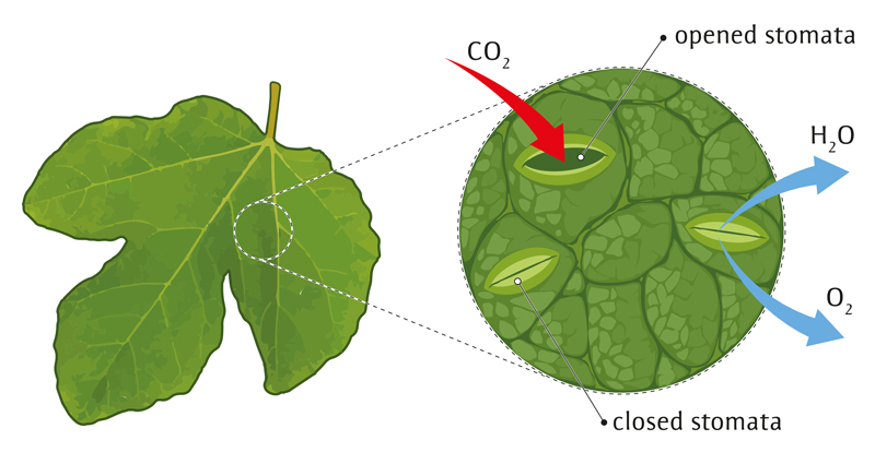 Stomata on underside of leaf showing water loss
