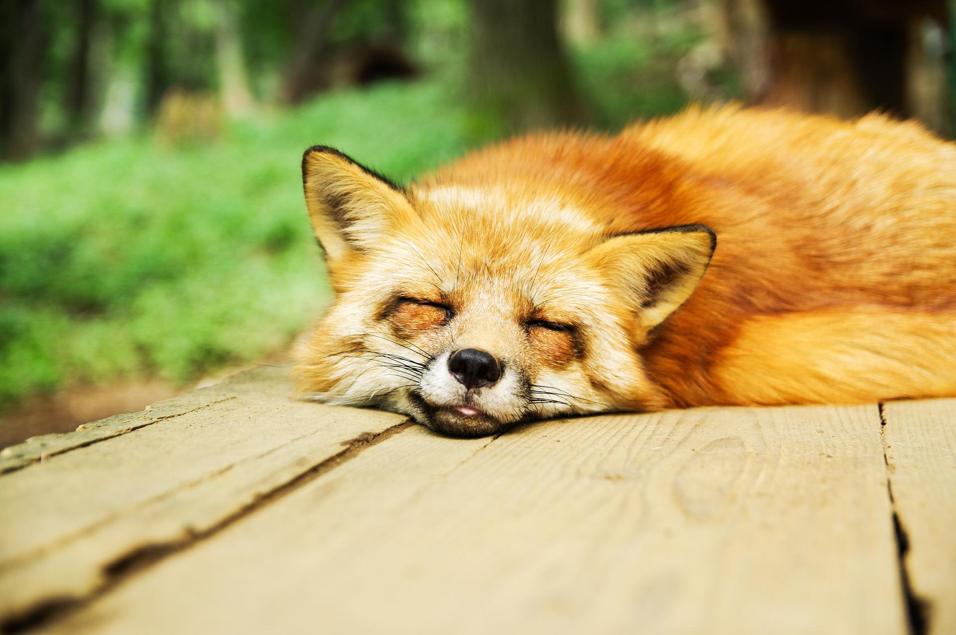 Fox at Zao Fox Village in Japan