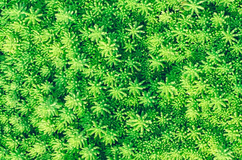 Sedum album on green roof