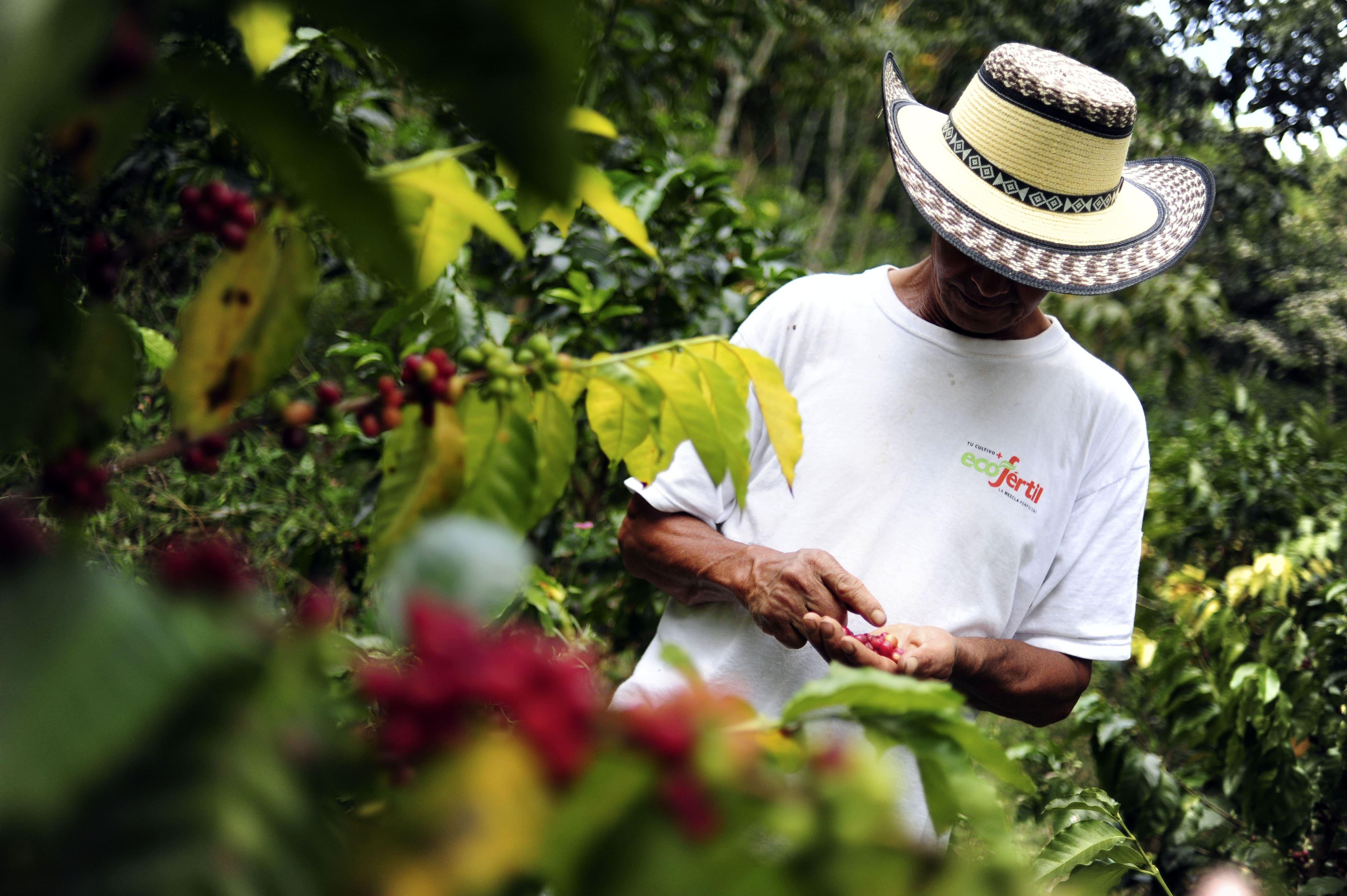Coffee plantations farmer in Colombia