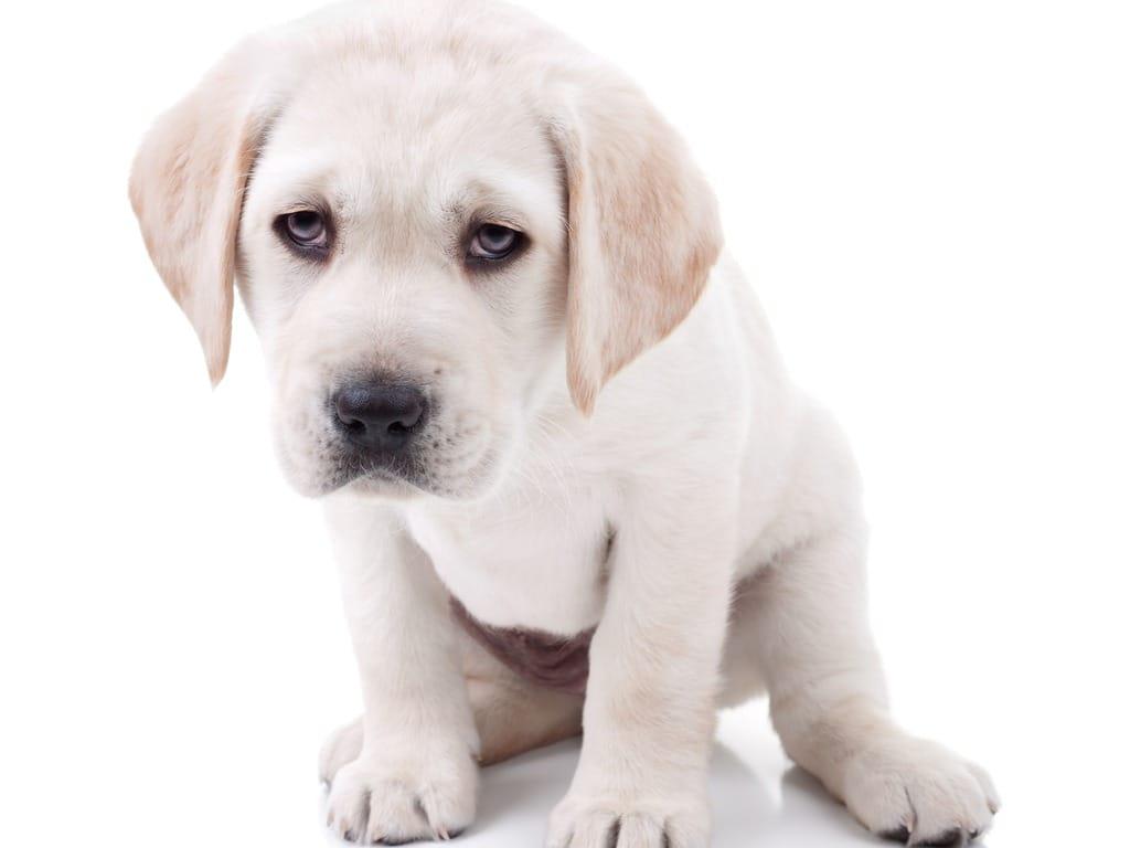puppy vomiting