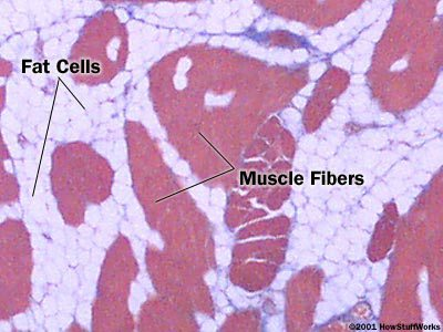 cross section of muscle and fat