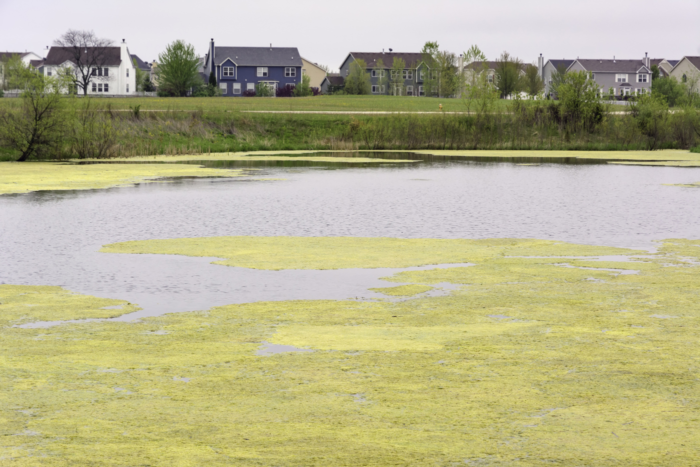 green roof nutrient runoff: pond with too much nutrients