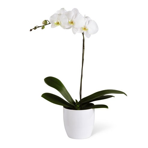 Should you send breakup flowers with white orchid plants