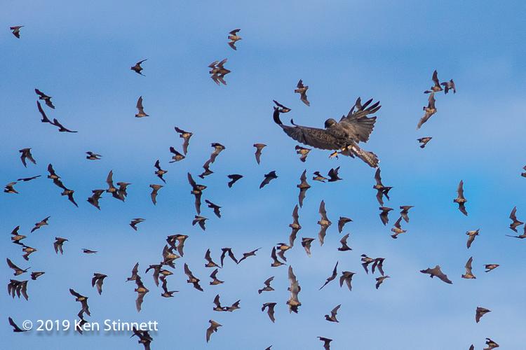 hawk and bats.jpg