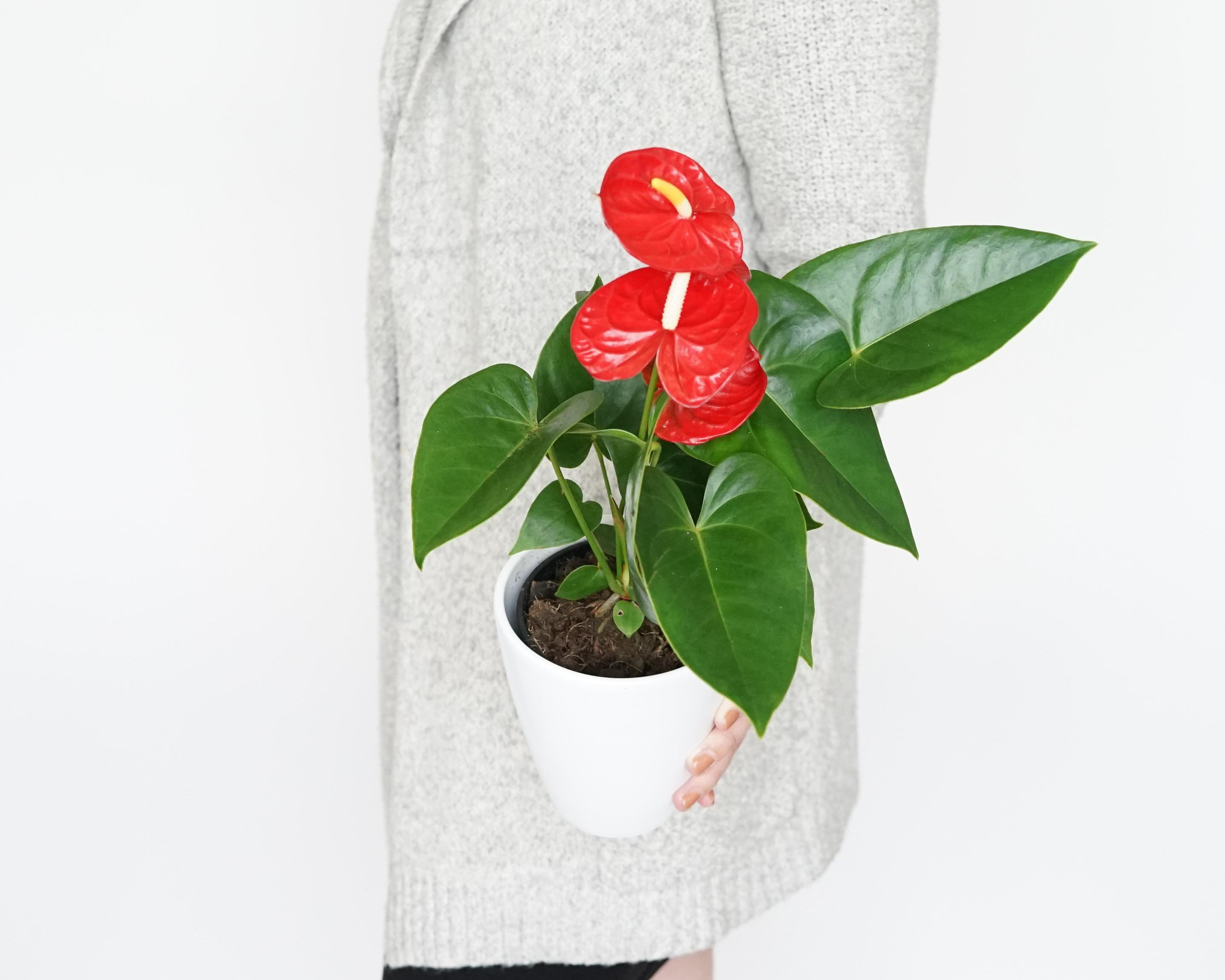 Plants as Valentine's Day Gifts