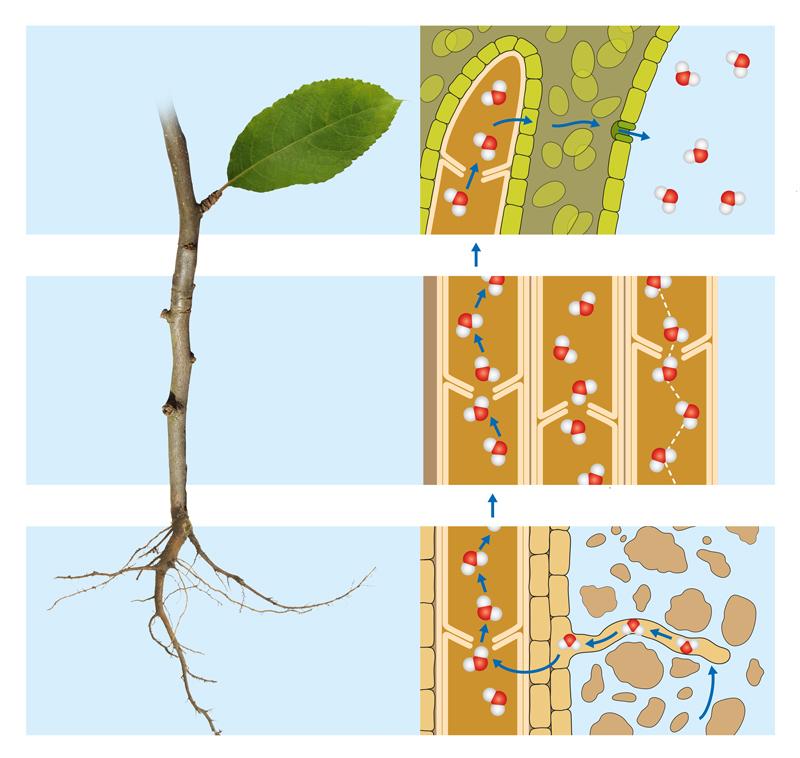 evapotranspiration-water-circulation-plants