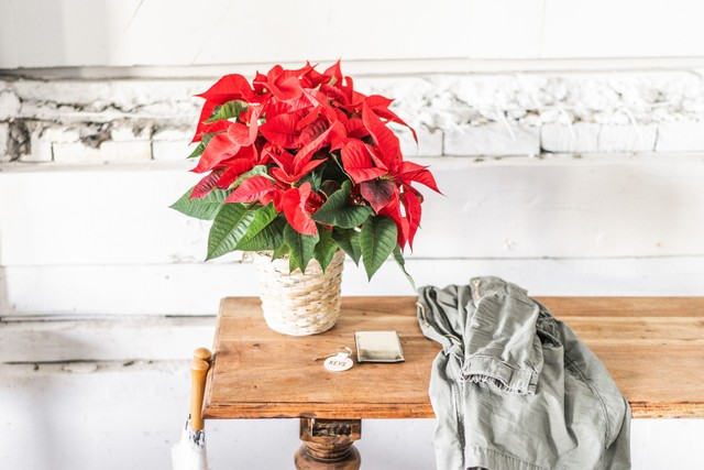 poinsettia-plant.jpg