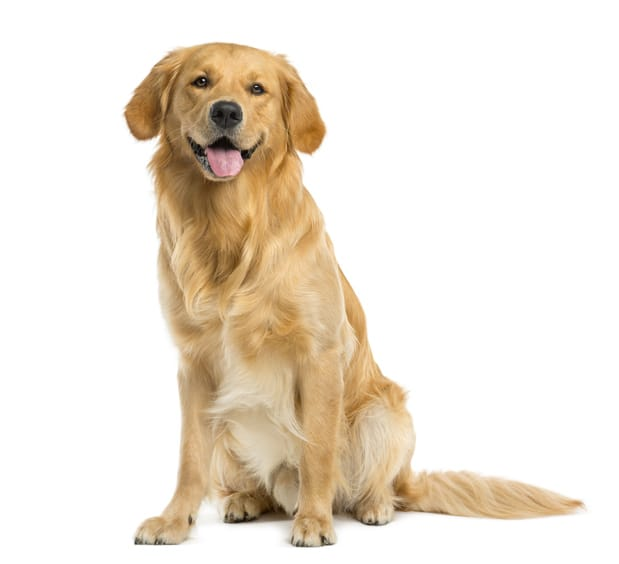 Golden Retrievers With Skin Allergies