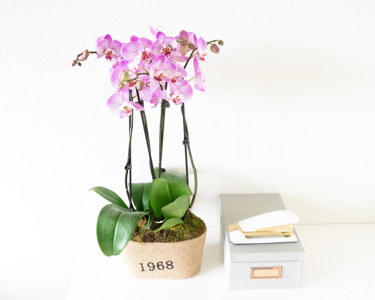 Orchid Plant Colors