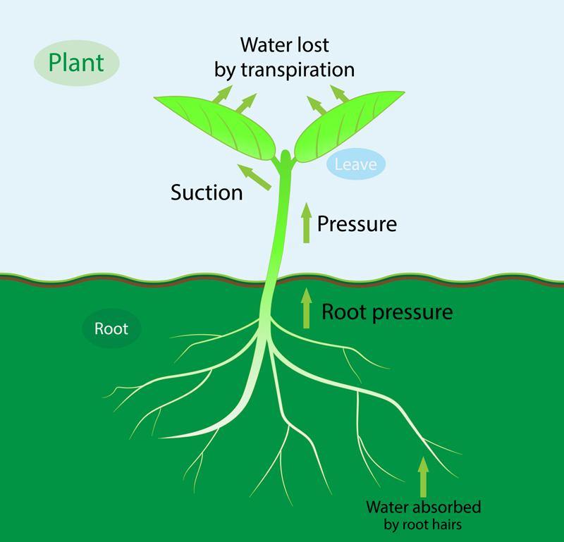 evapotranspiration-root-pressure
