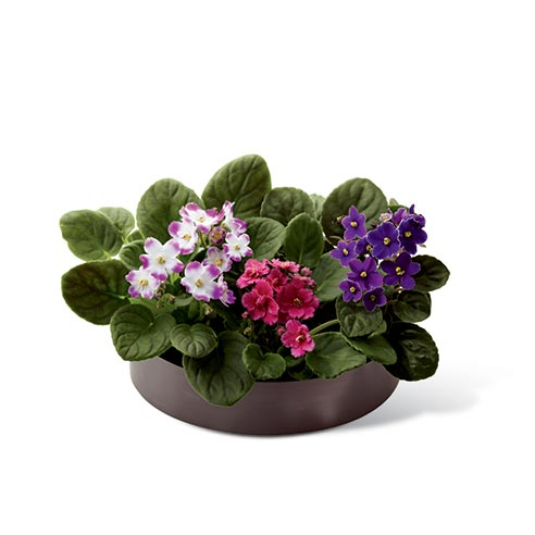 Three African violets dish garden with 3 African violet plants