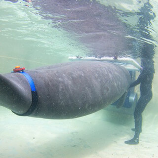 Mote's manatees burn a few calories for conservation science
