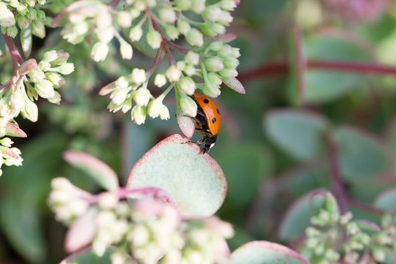 Ladybug on sedum or stonecrop green roof