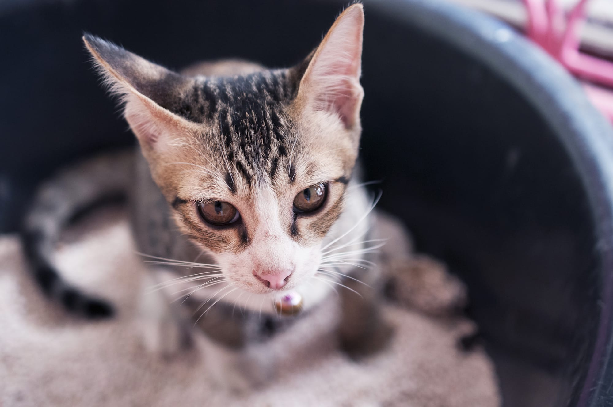 Cat Urine Has An Incredibly Potent Smell Most Pet Parents Have Had The Experience Of Getting A Whiff While Cleaning Litter Box