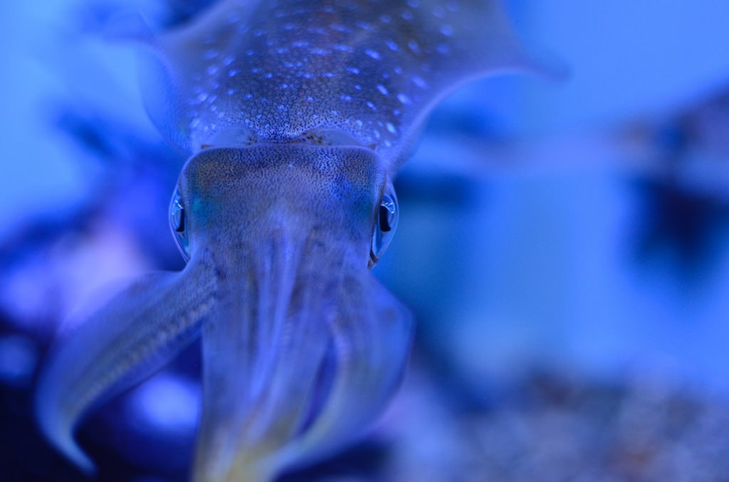 Firefly Squid in Japan