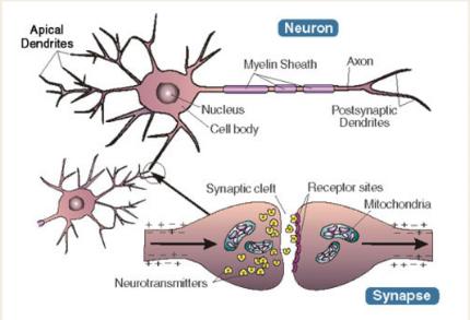 NeuronSynapse.