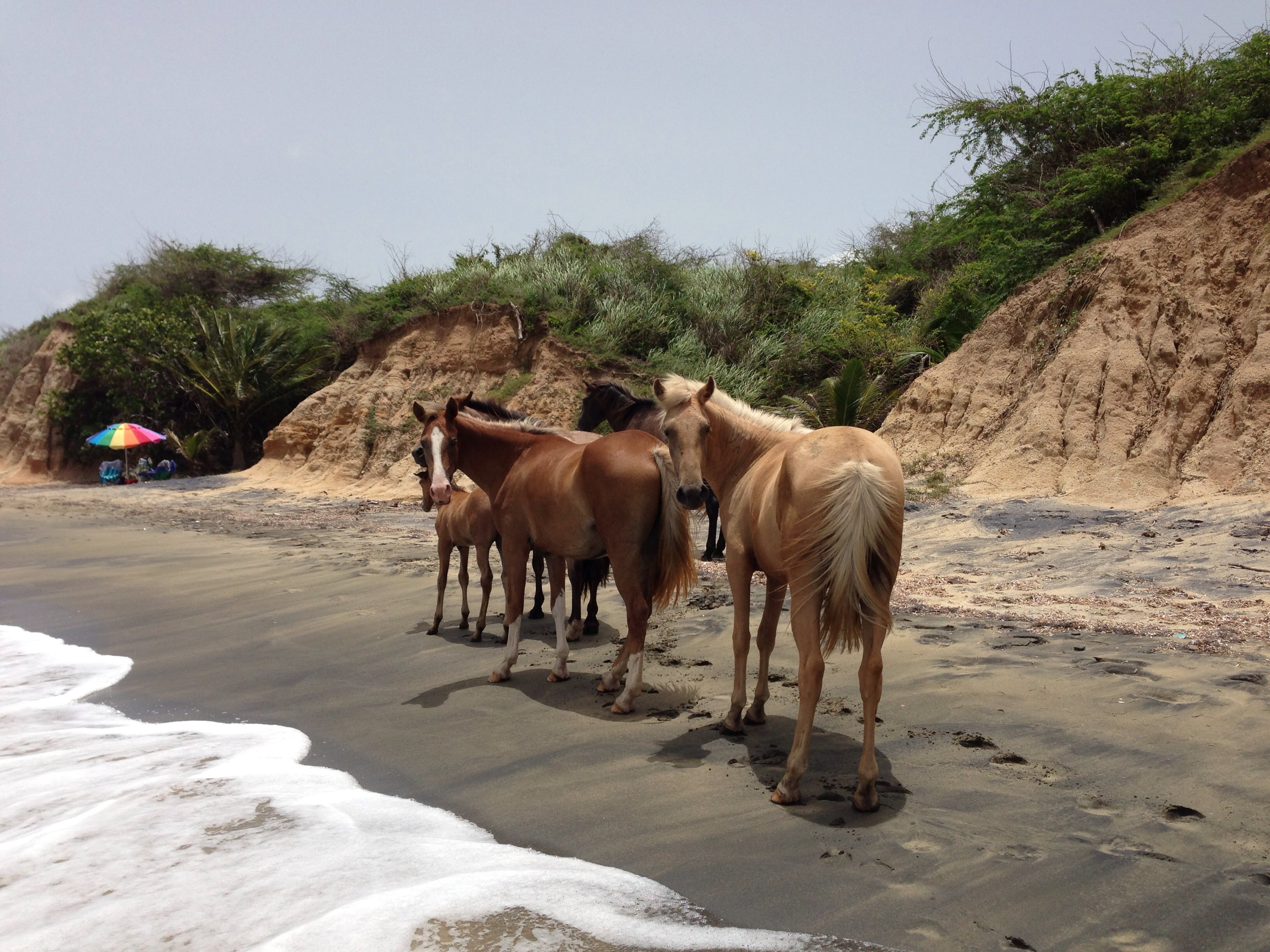 Vieques Wild Horses Things to do in Puerto Rico