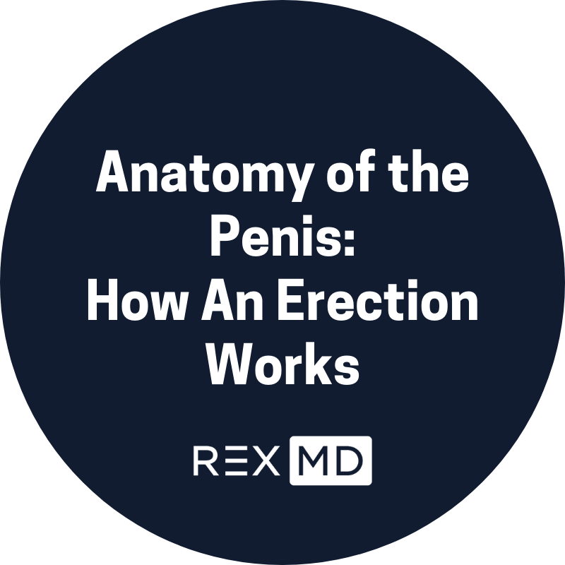 Anatomy of the Penis: How An Erection Works