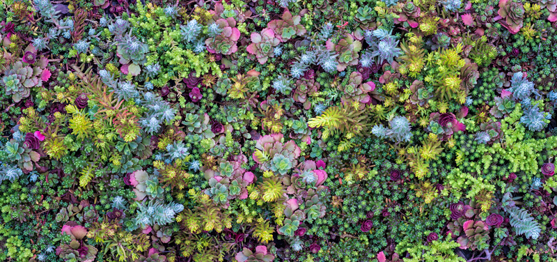 green roof soil showing diverse sedums