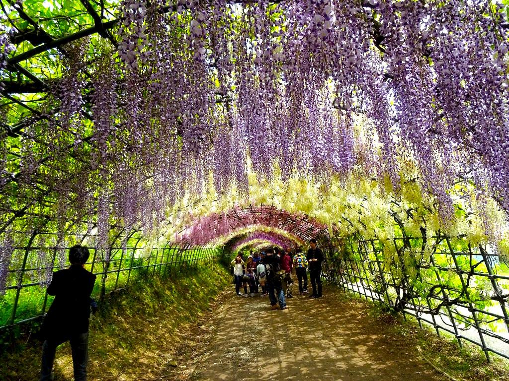 Wisteria Tunnels Japan
