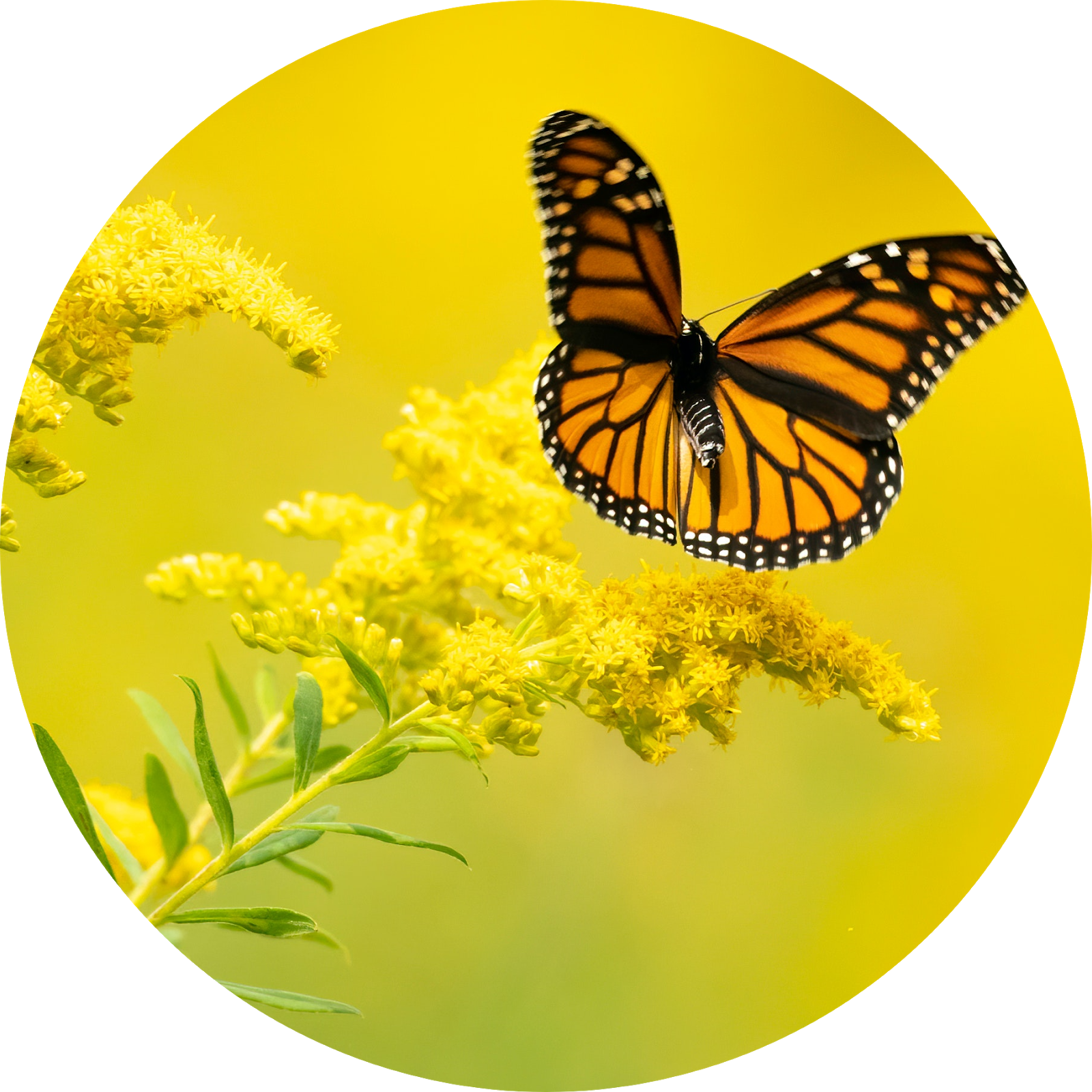 How To Use Goldenrod For Erectile Dysfunction