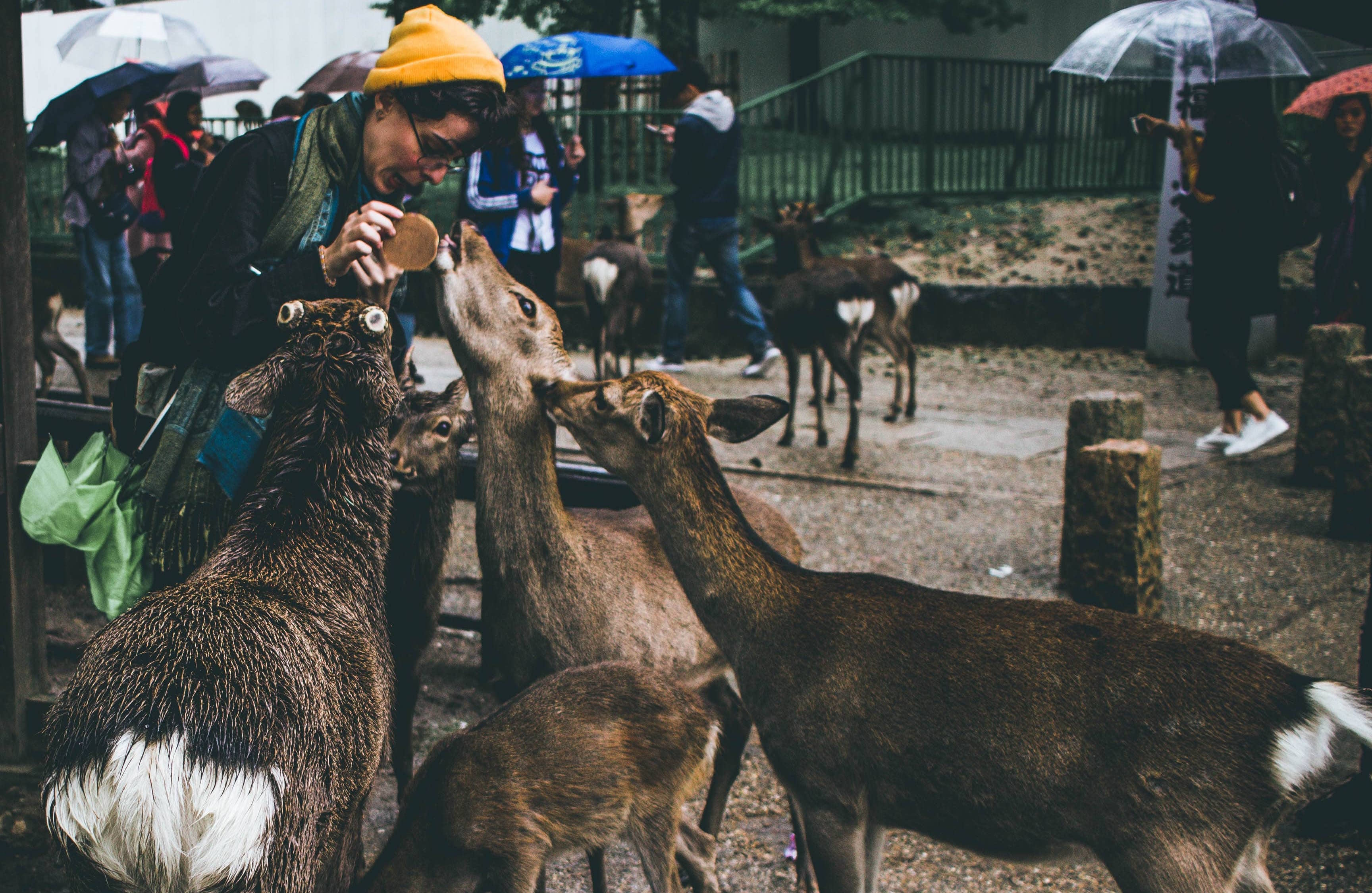 Nara is one of the best places to visit in Japan