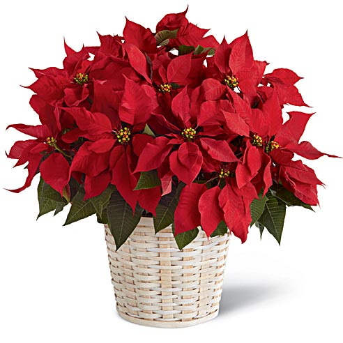 Red poinsettia plant alternative to mini live Christmas tree delivery
