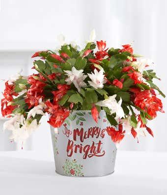 Christmas Cactus.jpg