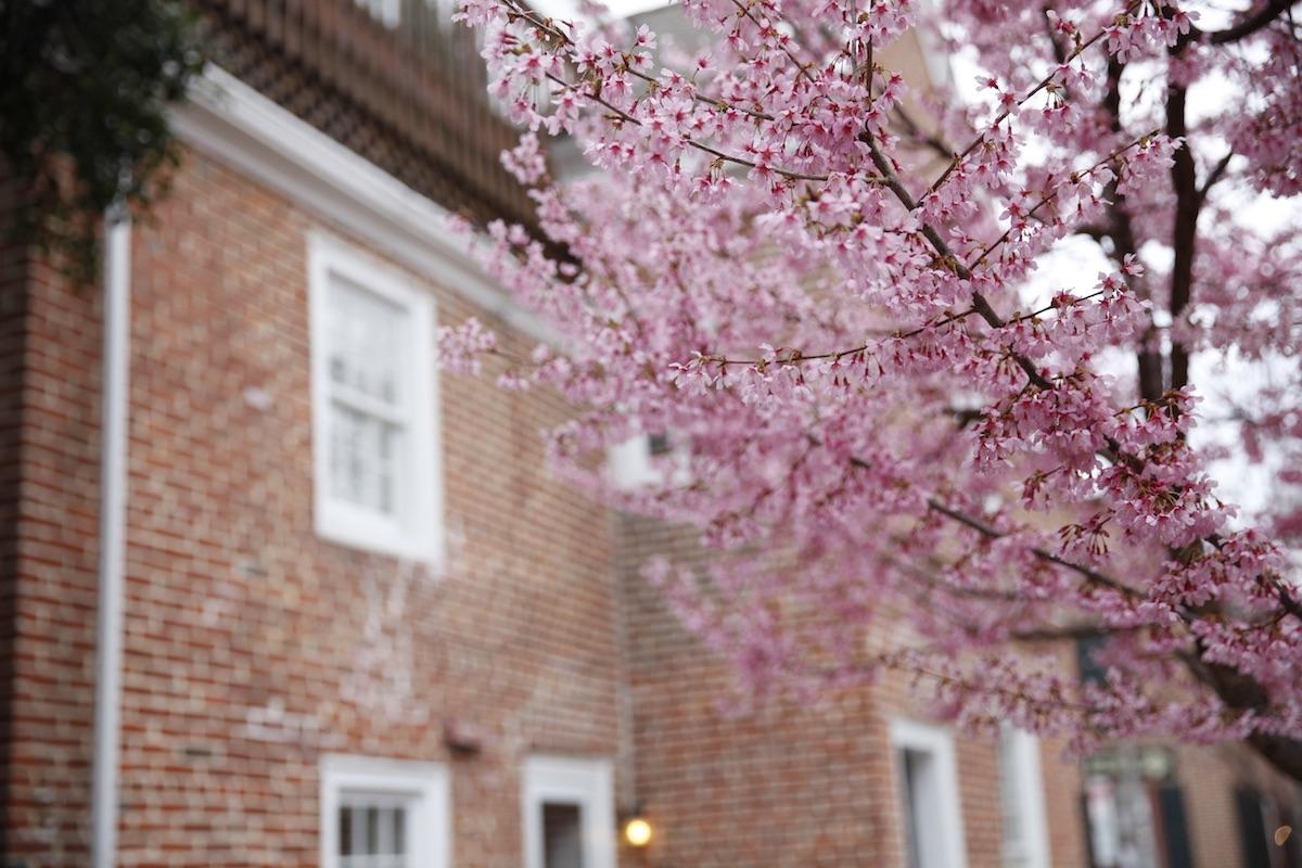 A tree blossoms in Philadelphia, P