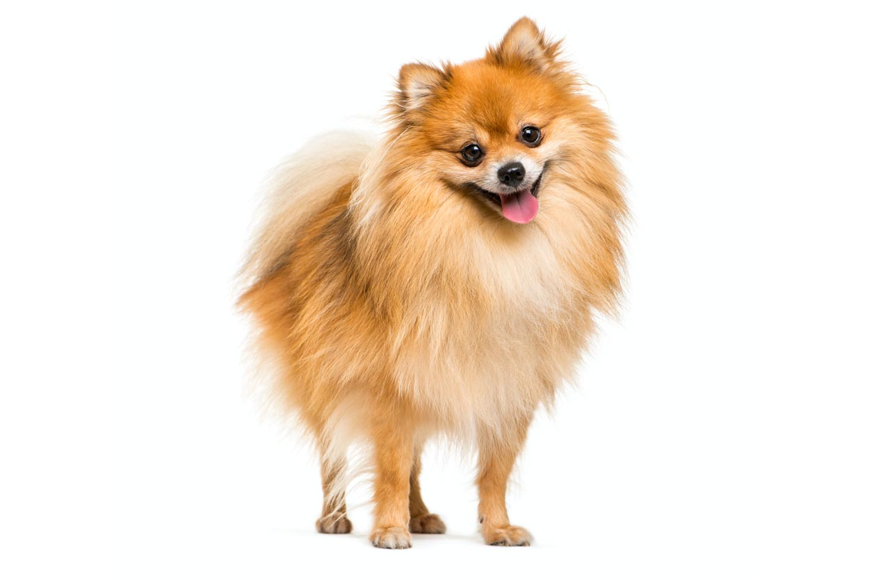 Pomeranians With Skin Allergies Nom Nom