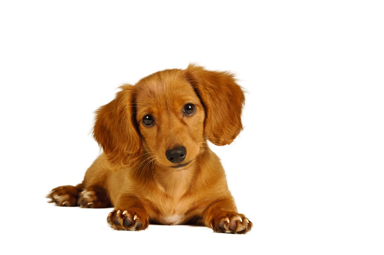 dachshunds-allergies.jpg