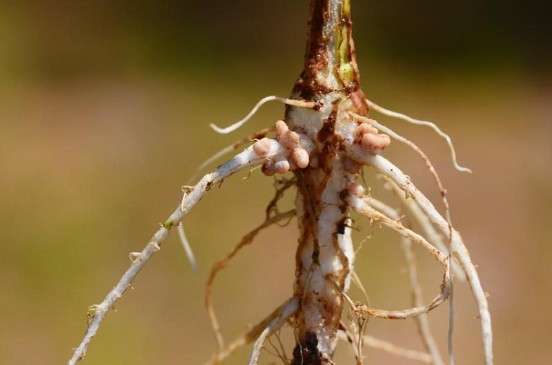green-roof-biodiversity-root-nodules