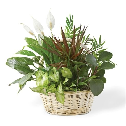 Mixed green plants dish garden for st patricks day gift
