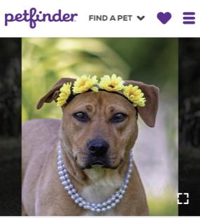 Petfinder Lucy LaMancha close-up IMG_...