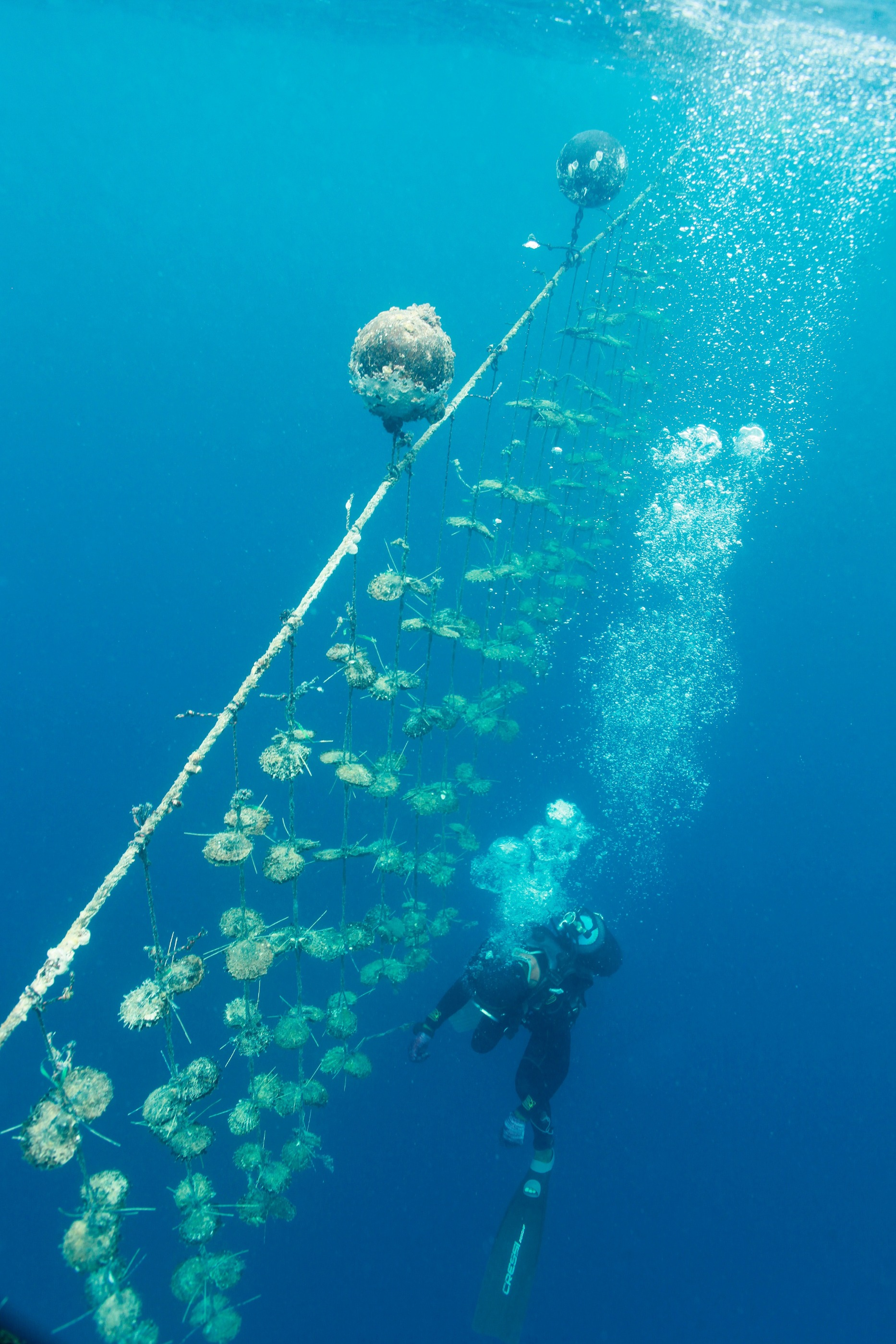 A diver inspecting wild-caught oysters growing Tahitian pearls in French Polynesia