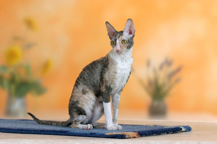 do hairless cats have dander