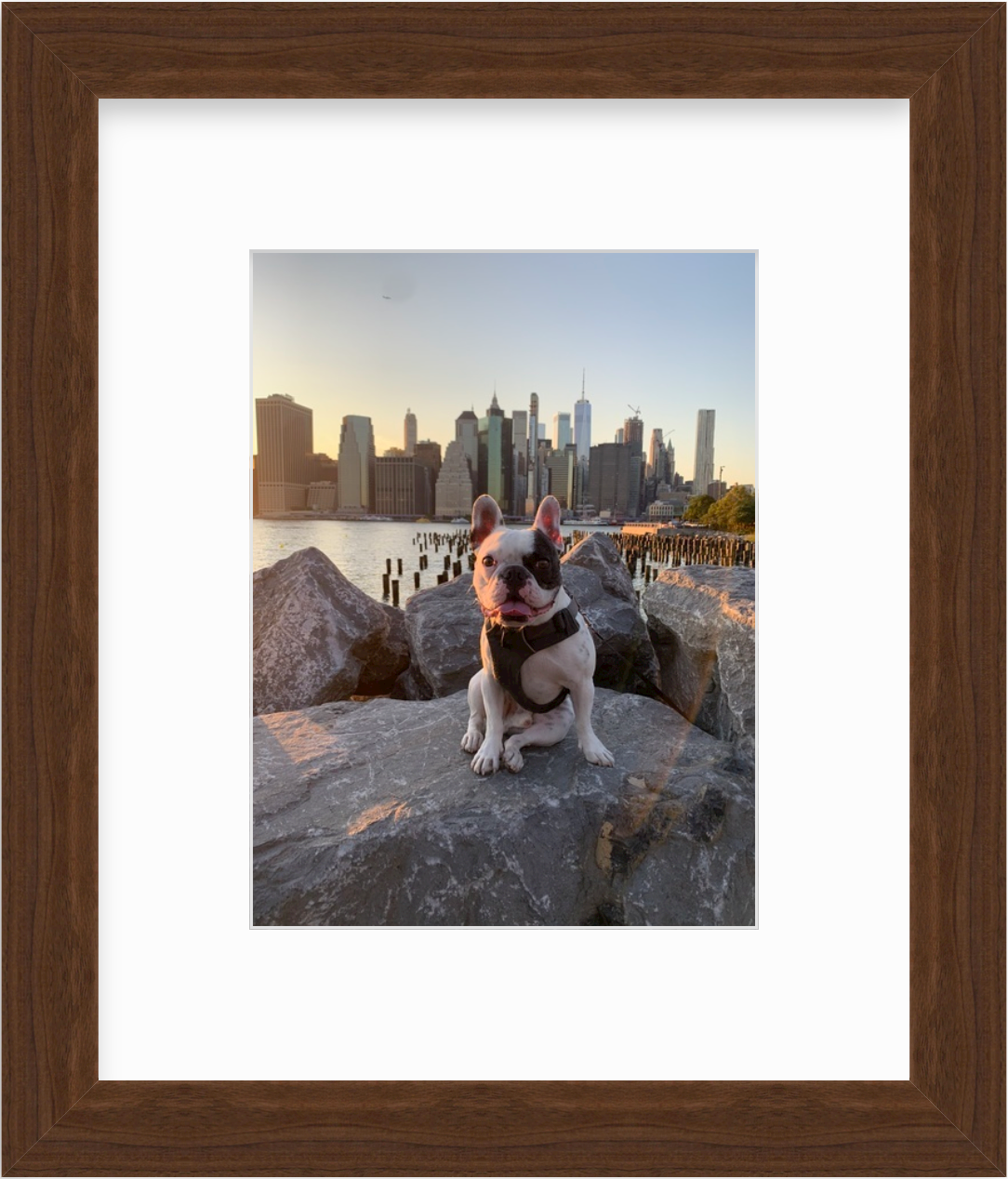 photo of frenchie dog in brooklyn bridge park at sunset in walnut frame
