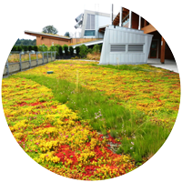 green roof with Sedums and stripe of taller perennials in middle for greater species diversity